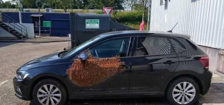 De bijen zwermen door regio Rotterdam: 'De koe is een individu, een bij is dat niet'