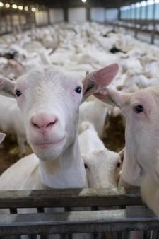 Geitenhouderij in Maasbommel mag uitbreiden ondanks geitenstop