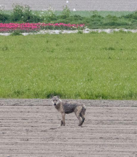 Eerste wolf in West-Brabant gefotografeerd, specialist bevestigt: 'Dit is er één'
