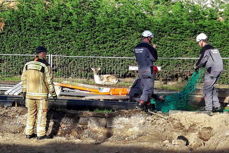 De brandweer moest de hulp van een dierenarts inroepen om het damhert te verdoven.