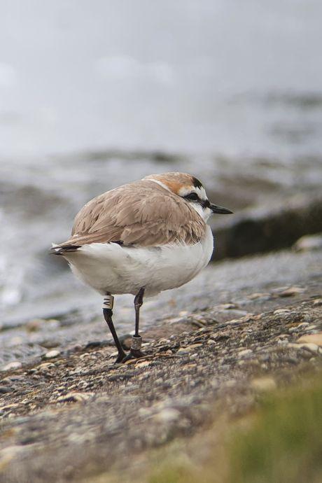 Oudste strandplevier van Nederland nestelt zich - net als veel mensen - graag in Zeeland