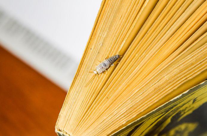 Zilvervisjes zijn dol op oude boeken.