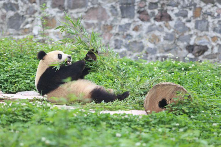 Mannentjes panda Xing Ya, een van de twee panda's die naar Ouwehands Dierenpark in Rhenen gaan.  Beeld ANP