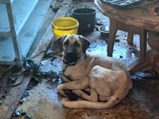Aan de ketting en tussen de poep: zo leefden deze honden op een bedrijventerrein in Dronten
