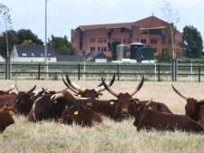 Watusi's op Maurikse savanne