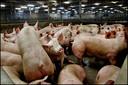 Na de visuele keuring worden de varkens ondergebracht in de stal waar zij wachten tot ze worden gedood.