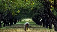 Opgelet: deze zondag geen gratis fruit in Alden Biesen, maar wel op zondag 20 oktober