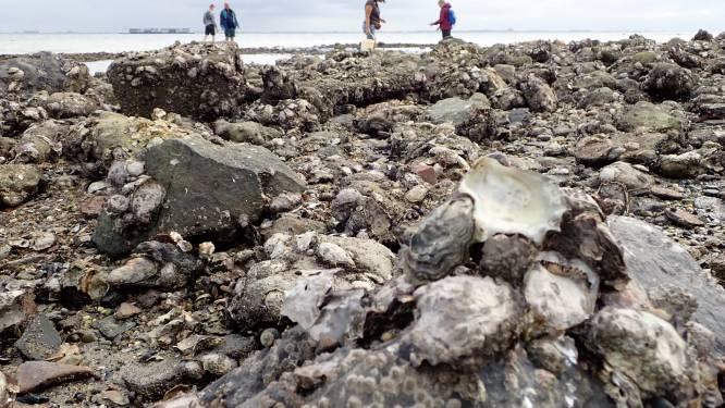 Strengere regels op komst voor het rapen van oesters en mossels: tien kilo is te veel