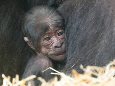 Daar is-ie dan! Eerste gorillajong in bijna 10 jaar in Apenheul