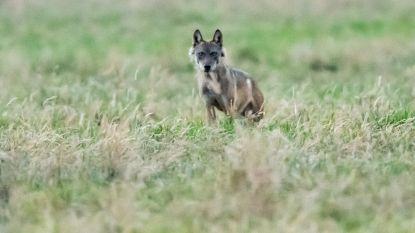 Op deze wandeling leer je alles over de wolven in de Kempen