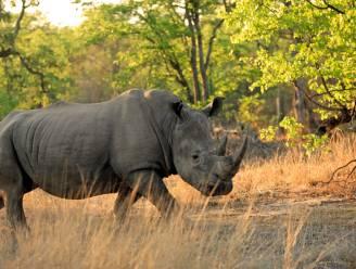 200 neushoorns minder gestroopt in Zuid-Afrika, dankzij coronamaatregelen
