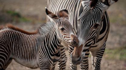VIDEO. Zo schattig! Zebraatje Tamu geboren in Planckendael