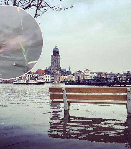 Beveralarm! Deze 'hoogwatervluchtelingen' zwemmen rondjes in de IJssel bij Deventer