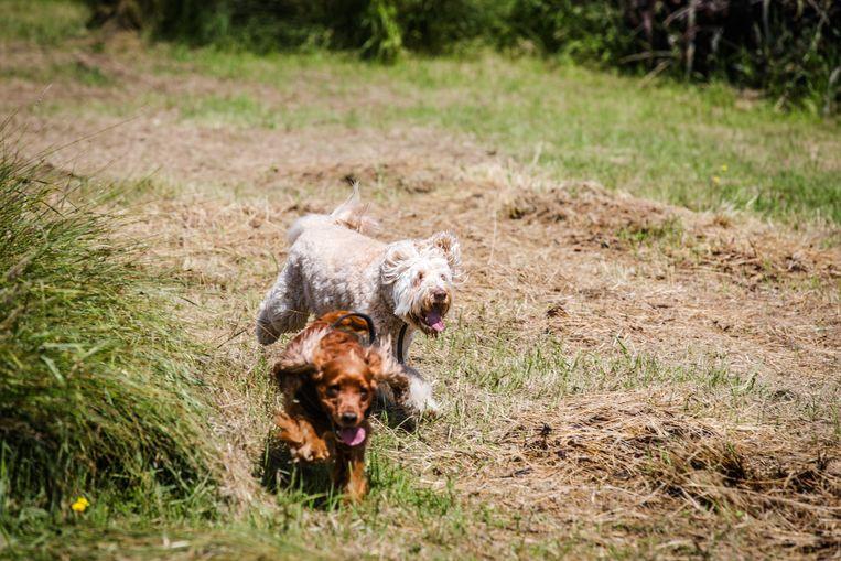 Joe en Floy (achteraan) beleefden alvast veel plezier op de hondenloopweide in Oudenburg.