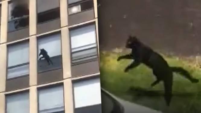 Kat springt uit brandend gebouw, stuitert een keer en rent ongedeerd weg