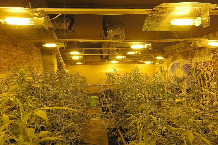 De politie trof de cannabisplantage aan in een woning langs de Lispersteenweg
