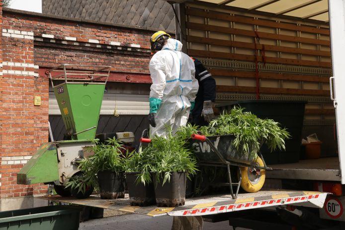 De ontmanteling van een cannabisplantage.