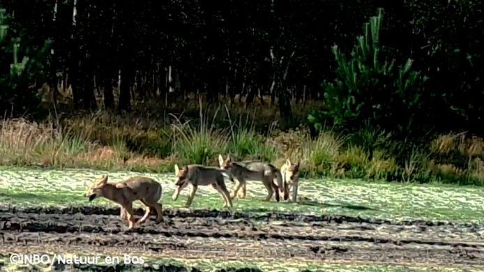 Door het nieuwe nest wolven, ontstond er een piek in het aantal schapenkills: een gemakkelijke prooi.