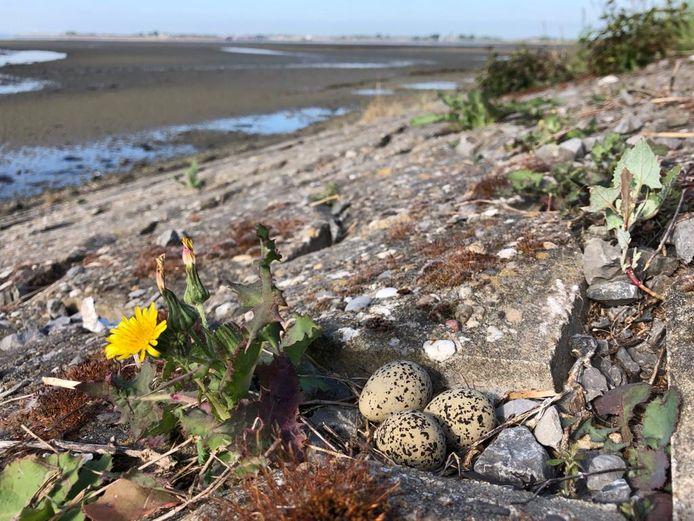 Een nestje van de strandplevier