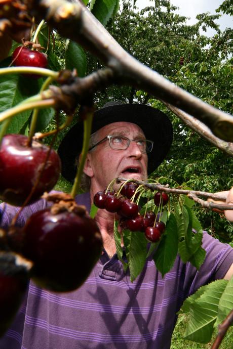Vereniging wil oude Betuwse kersenrassen redden