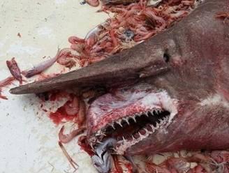 Garnaalvissers oog in oog met lelijkste haai ter wereld