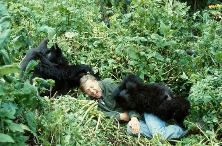 David Attenborough dolt met berggorilla's in Rwanda, voor zijn tv-serie 'Life on Earth' in 1979. Beeld 1