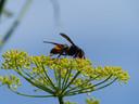 Foto Aziatische hoornaar ter illustratie.