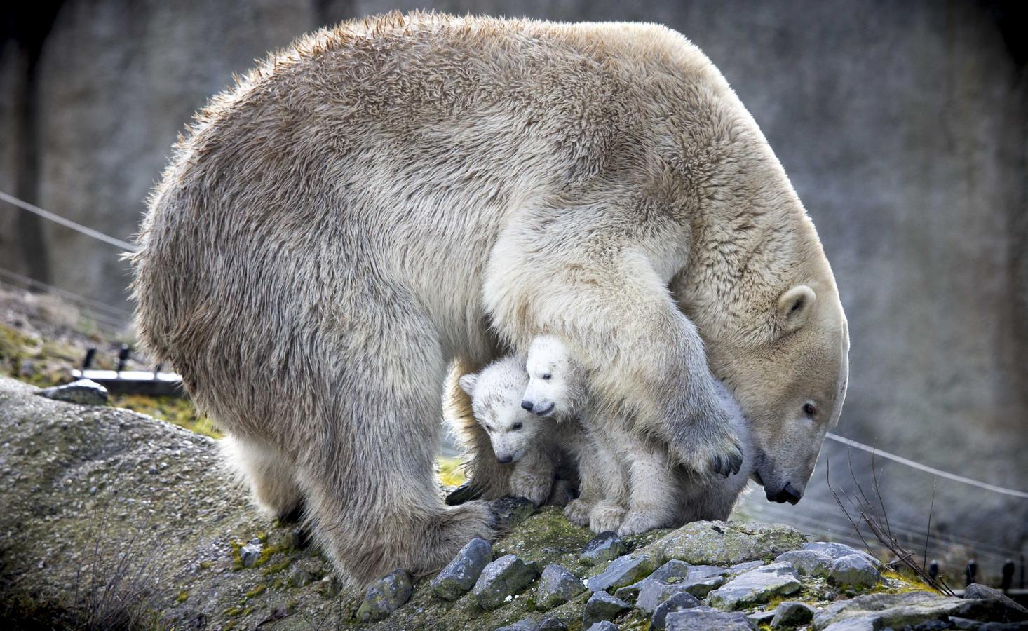 IJsberenmoeder Olinka in gelukkige tijden, met haar koters Sizzel en Todz. Mannetje Wolodja blijft nu alleen achter.
