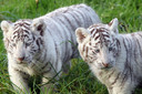 Twee witte tijgerpups