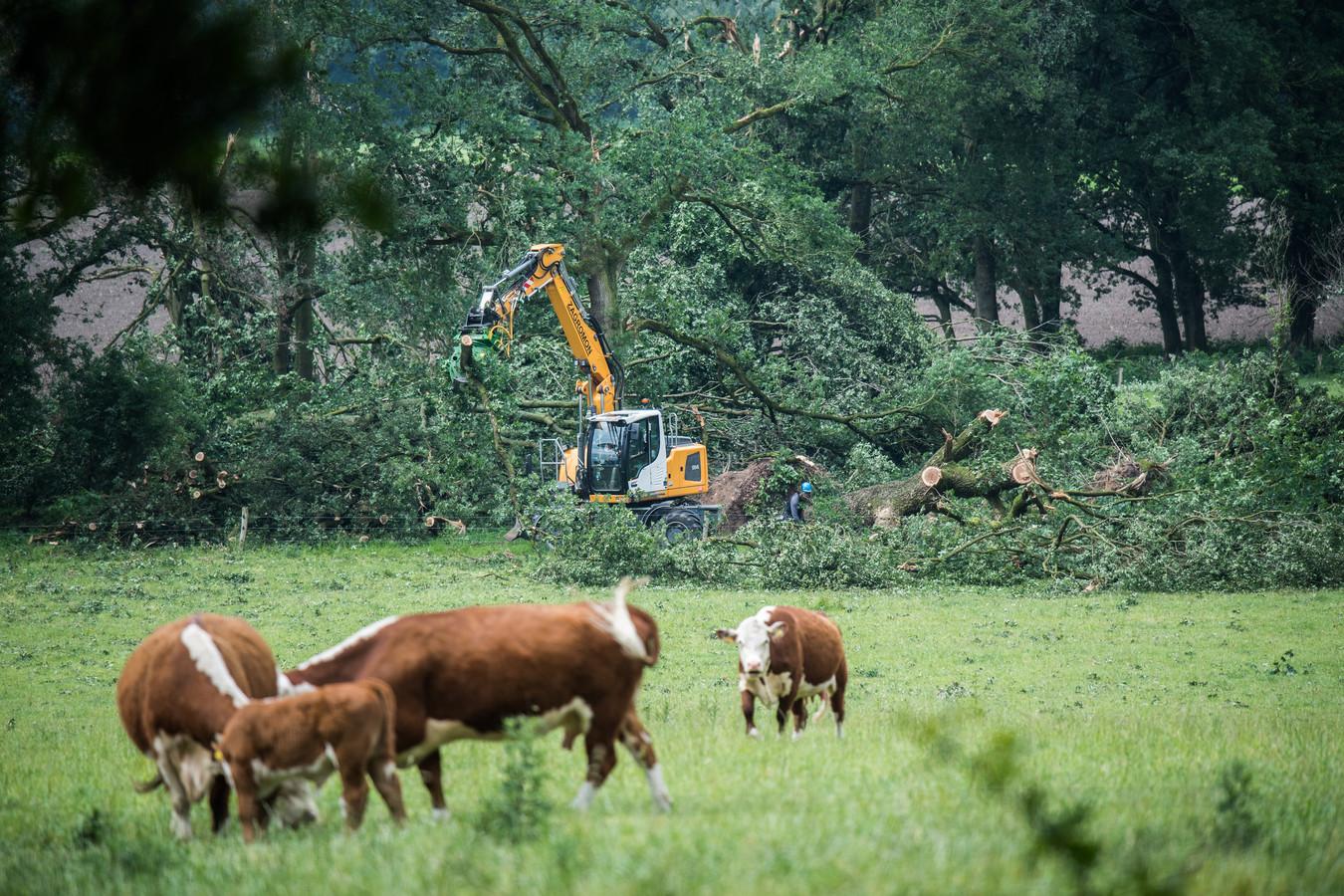 Koeien grazen terwijl de stormschade wordt opgeruimd bij Park Veluwezoom.