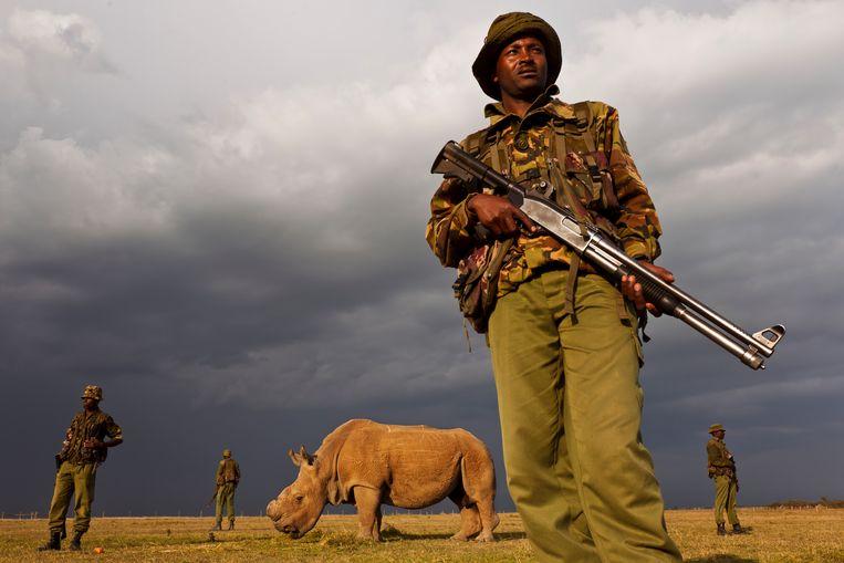 Deze neushoorn in Kenia wordt bewaakt door leden van een non-profit organisatie tegen stropers. Zij beschermen het dier omdat het met uitsterven wordt bedreigd.  Beeld Getty Images