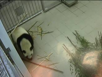 Eerste nacht panda's verliep goed