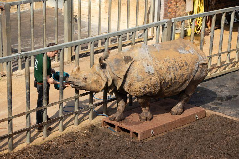 Neushoorn Beluki, een van de zwaarste dieren van Whipsnade Zoo, stapte op een industriële weegschaal en woog 1.650 kg. Alle gewichten en afmetingen worden opgeslagen in een database, waarmee dierenverzorgers over de hele wereld belangrijke informatie over bedreigde soorten kunnen inkijken. Beeld Photo News