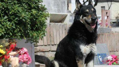 Het ontroerende verhaal van Capitan, de hond die nooit het graf van zijn baasje verliet