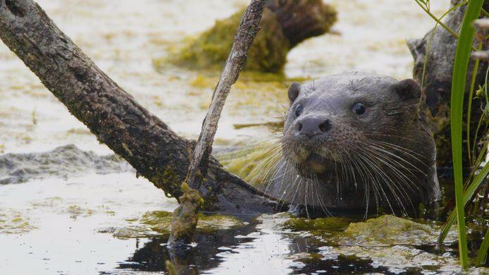 Een otter. Foto ter illustratie.