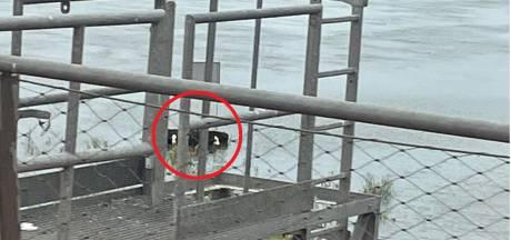 Evelien ziet koeien in water bij Zwolse IJssel en slaat alarm. Toch is het minder erg dan het lijkt