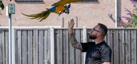 Papegaai Pako vliegt zo vrij als een vogel door Goor: 'Soms heeft hij er geen zin in, andere keren blijft hij uren weg'