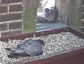 Dappere duif bouwt nest pal naast slechtvalk: 'Die eten meerdere duiven per dag'