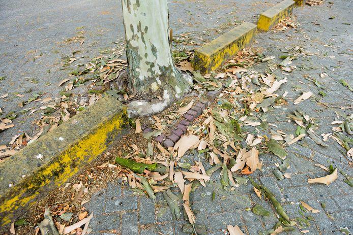 Platanen op de Bomansplaats in Eindhoven verliezen hun schors, maar er is nog geen reden voor paniek.