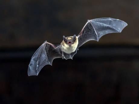 'Gorcumse vleermuizen en vogels moeten steeds vaker vluchten voor de sloophamer'