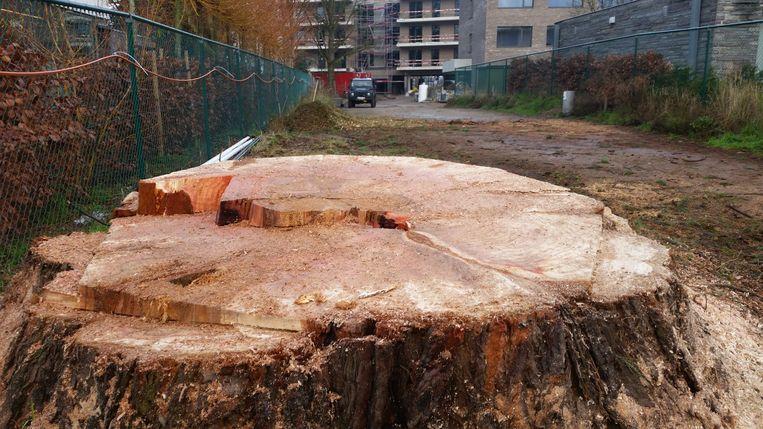 De gekapte sequoia, met op de achtergrond het woon-zorgcentrum in aanbouw.