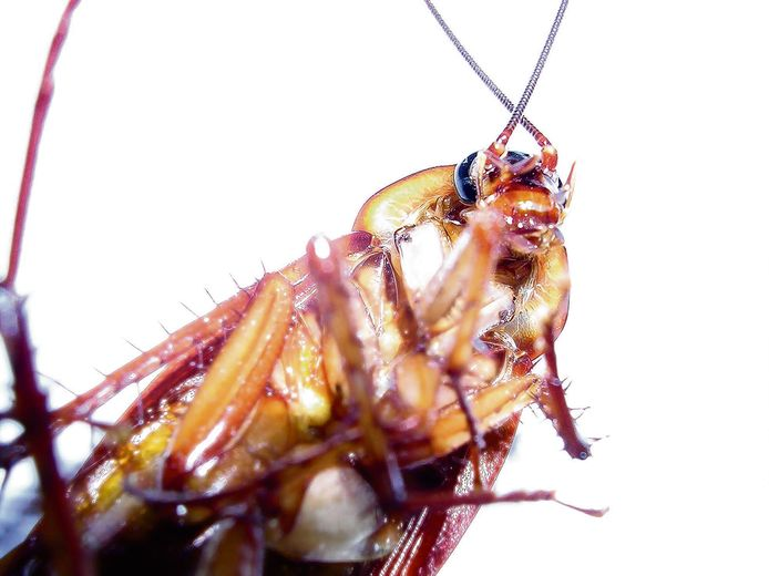 De kakkerlak kan best wel eens onoverwinnelijk worden.