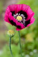 Opiumpapaver