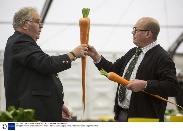 De jury van de Harrogate Flower Show in het Britse Yorkshire meet nauwkeurig na welke wortel de grootste is. Beeld Hollandse Hoogte
