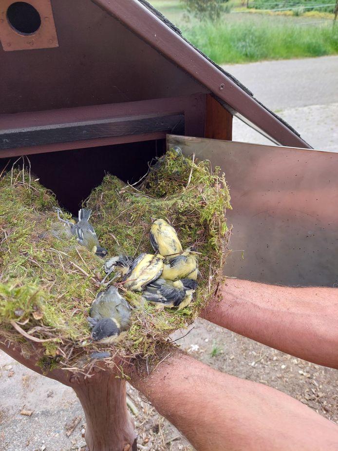 Het nest zoals Geert van den Berk dat in zijn vogelhuisje in Wintelre aantrof. Er lagen tien dode mezen in.