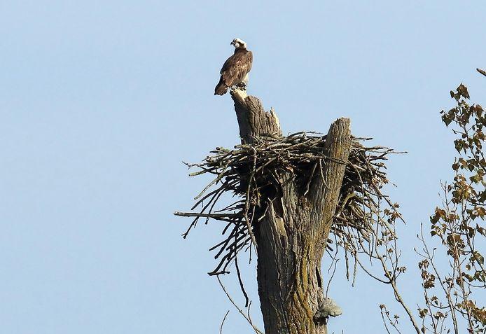 Net als vorig jaar, broeden er drie paartjes visarenden in de Biesbosch.