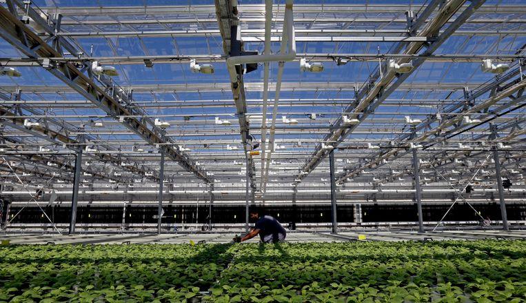 Tabaksplanten kunnen een ultrasoon geluid maken. Beeld AP