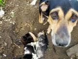 Het hartverscheurende moment waarop hond haar doodgereden puppy's begraaft