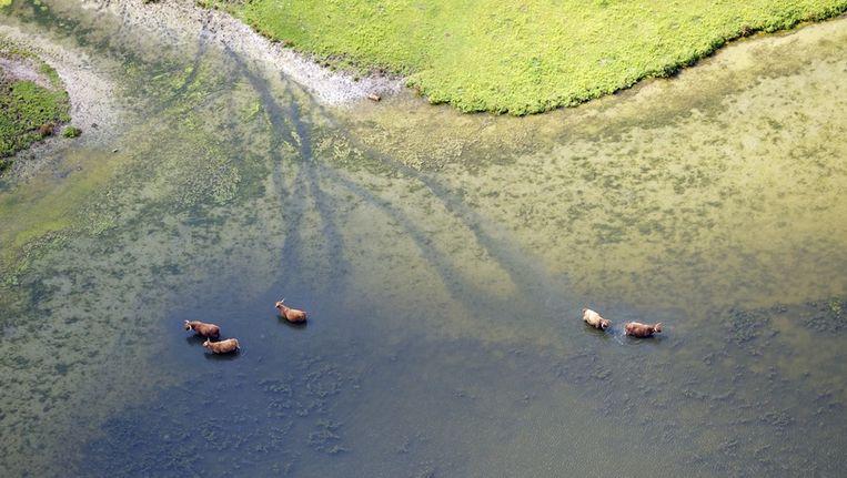 Koeien zoeken verkoeling in het Grevelingenmeer. Beeld null