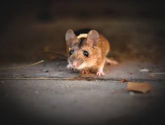 Australië wordt geteisterd door muizenplaag